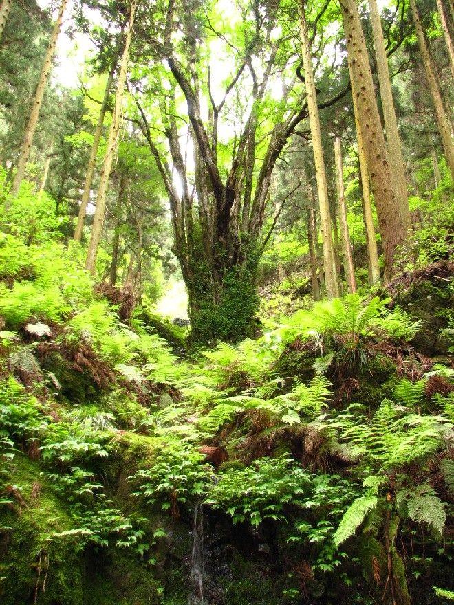 丹波篠山の藤坂春日神社に兵庫県下一位の幹周りを誇る桂の巨木が有るというデーターを頼りに馬鹿ナビにその由打ち込んで車を走らせた。 家を出てから下道ばかりを約2時間、ついに着きました藤坂の春日神社・・・ 境内を見回しても付近を眺めて見てもそれらしき巨木など見当たりません。 ...