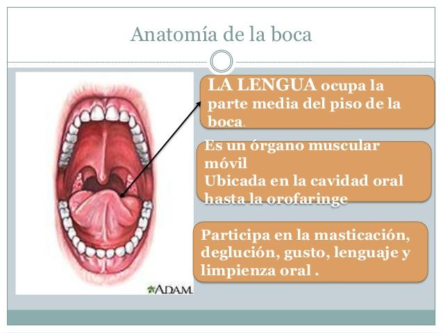 25 best anatomia dental images on Pinterest | Anatomía dental ...