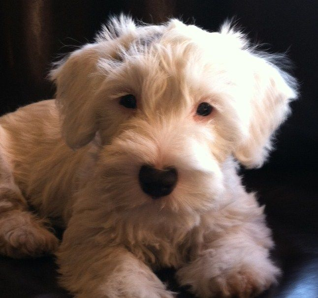 The Sealyham Terrier is not a well known breed today. Developed in Wales in the 1800's to help hunt badgers, otters, and fox; these small terriers are excellent companions.