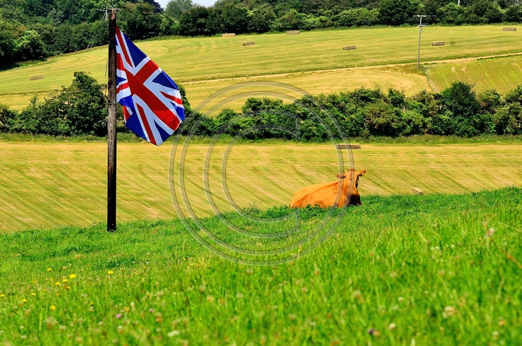 A Guernsey cow supporting British Olympic Hockey at Laceys Family Farm