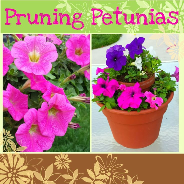 Pinch those petunias easy instructions on how to prune for Easy care outdoor plants and flowers