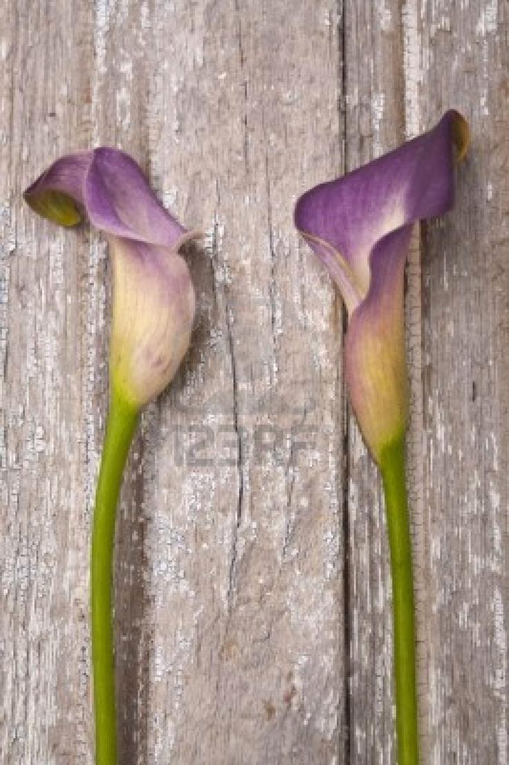 115 besten Calla Lillies Bilder auf Pinterest
