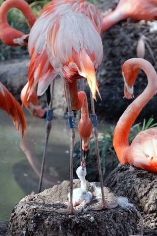 Caribbean flamingo mom and baby at the Dallas Zoo
