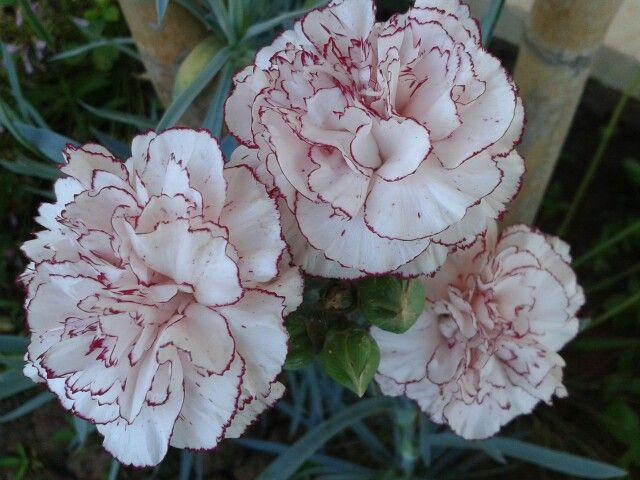 Karanfil bahçemin çiçekleri