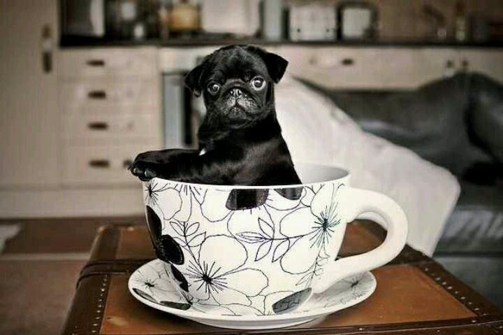 Pugs puppies teacups pugs teas time pugs funny black pugs teacups