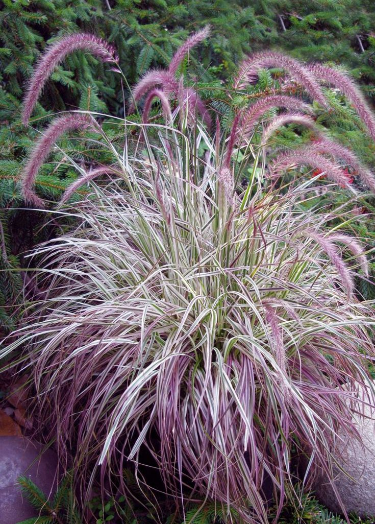Pennisetum 'Cherry Sparkler' (White and Pink Variegated Fountain Grass) | height of only 2-2.5', so perfect in pot with complementary plants. Zones 9-10.