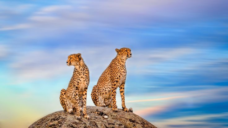 1920x1080 cheetah background download