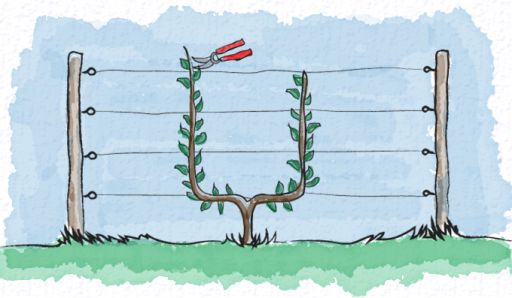 Guide to pruning every type of Espalier.