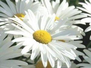 Leucanthemum x Superbum 'Alaska'. Soleil, ombre légère. juin-Août. 80cm x 50cm. Zone 4a. Plante à fleuraison prolongée. Peuvent tolérer un sol relativement sec durant une certaine période. Il est important d'enlever les fleurs fanées si vous désirez prolonger la fleuraison. Division des touffes tous les 2-3 ans pour maintenir la vigueur.