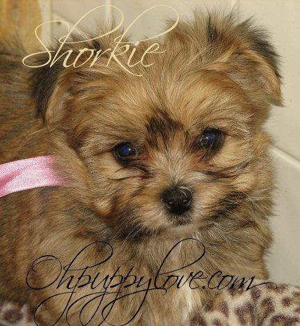 morkies for sale,shorkies for sale,maltipoos for sale,morkie puppy for sale,shorkie puppies for sale,maltipoo puppies for sale,chicago,illinois,wisconsin,morkies il,shorkie il,maltipoo il,dogs for sale,puppies for sale,dog breeds,morkie breeder il,morkie breeder wi,shorkie breeder wi,shorkie breeder il,maltipoo breeder wi,maltipoo breeder il,morkie new york,morkie breeder new york,morkie puppies for sale new york,shorkie breeder new york,shorkie breeder nyc,shorkie breeder ny,morkie breeder…