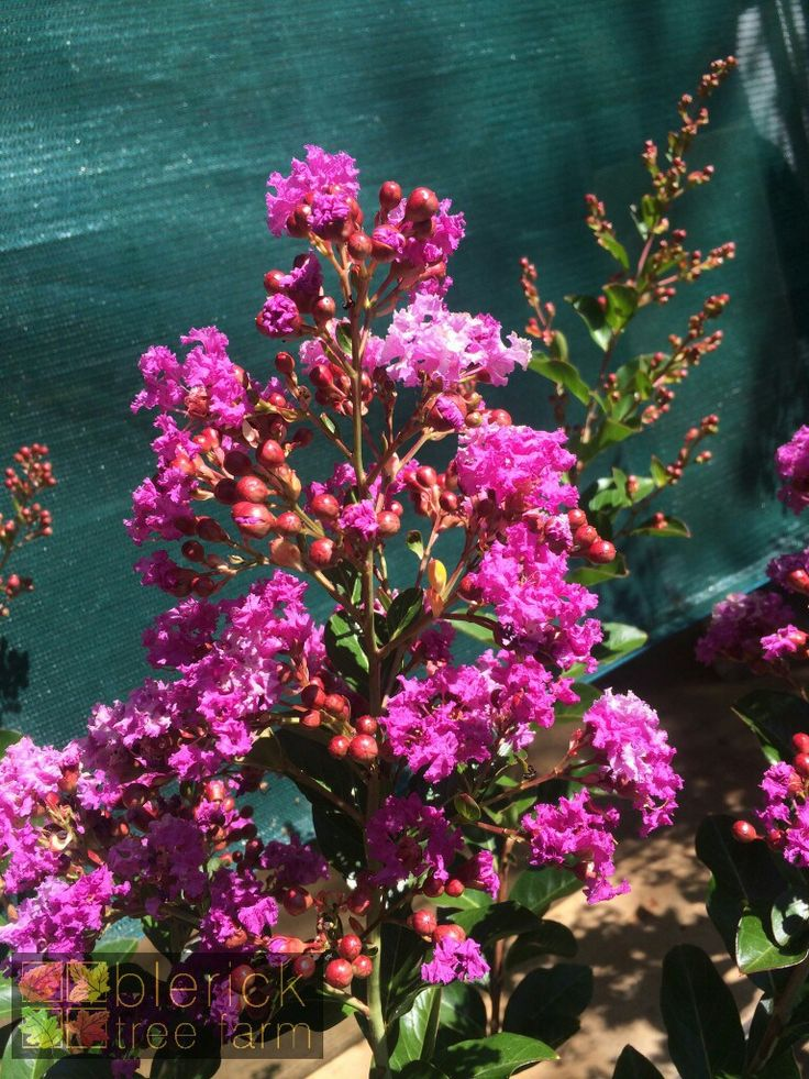 Lagerstroemia indica x fauriei – Zuni Crepe Myrtle – Purchase Bare Rooted Trees Online