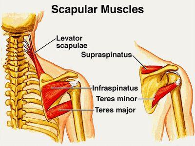 infraspinatus muscle