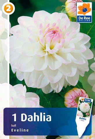Dahlia-Eveline.jpg (327×478)