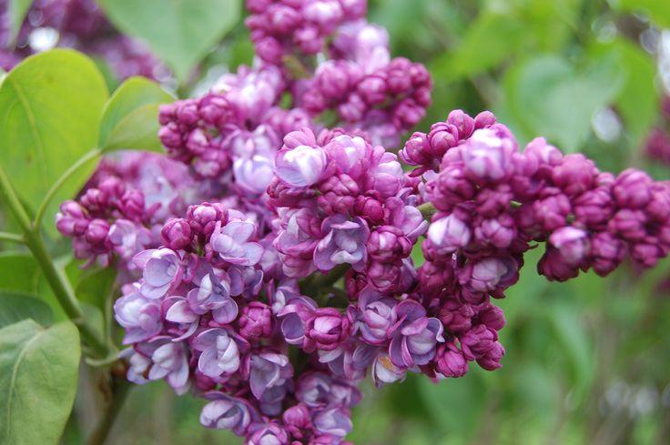 syringa-vulgaris-komsomolka-flower.jpg (3008×2000)