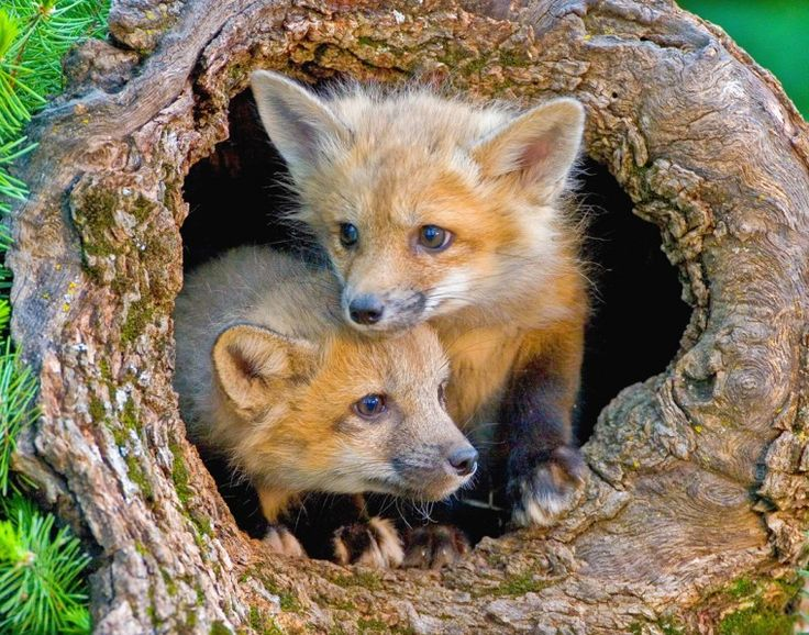 Baby Foxes  //  Young fox kits in Kalispel, Montana  //  Photo Credit: Donated by Jack Nevitt  //  http://photos.nwf.org/?attachment_id=910