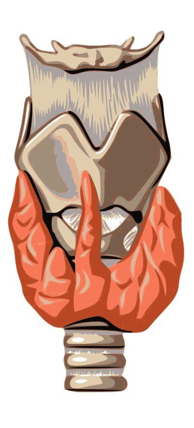 Thyroid - Wikipedia, the free encyclopedia