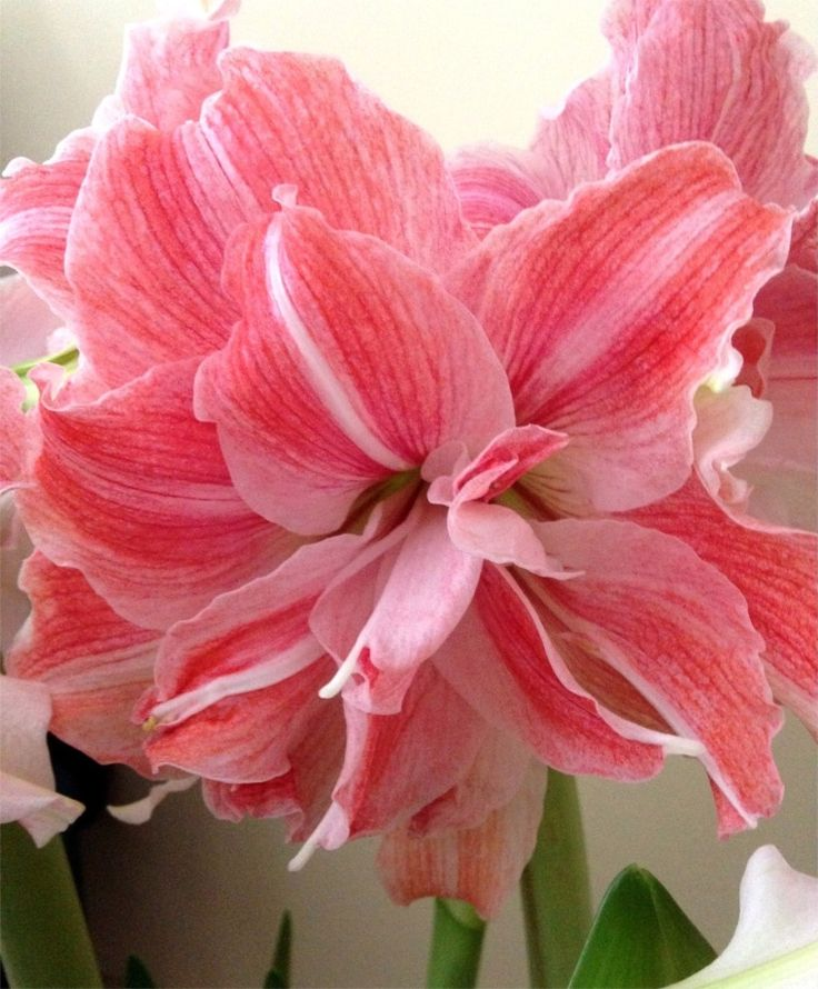 Amaryllis First Love - Christmas Flowering Double Amaryllis - Amaryllis - Flower Bulb Index