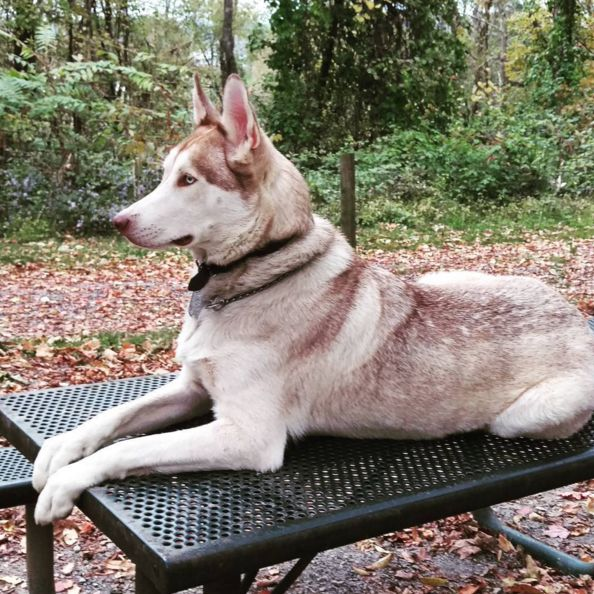 The most majestic dog at Fido's Backyard - Fairmont, WV - Angus Off-Leash #dogs #puppies #cutedogs #bigdogs #dogparks #fairmont #westvirginia #angusoffleash