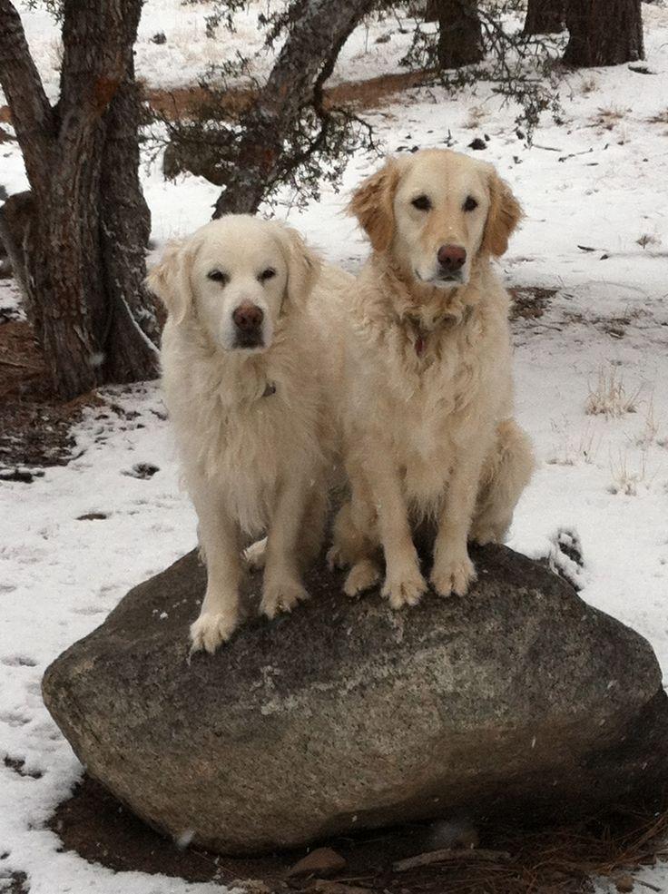 Stone cold (With images) Labrador retriever, Golden