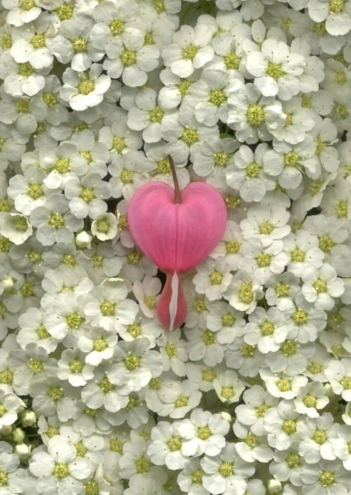 One Single Bleeding Heart