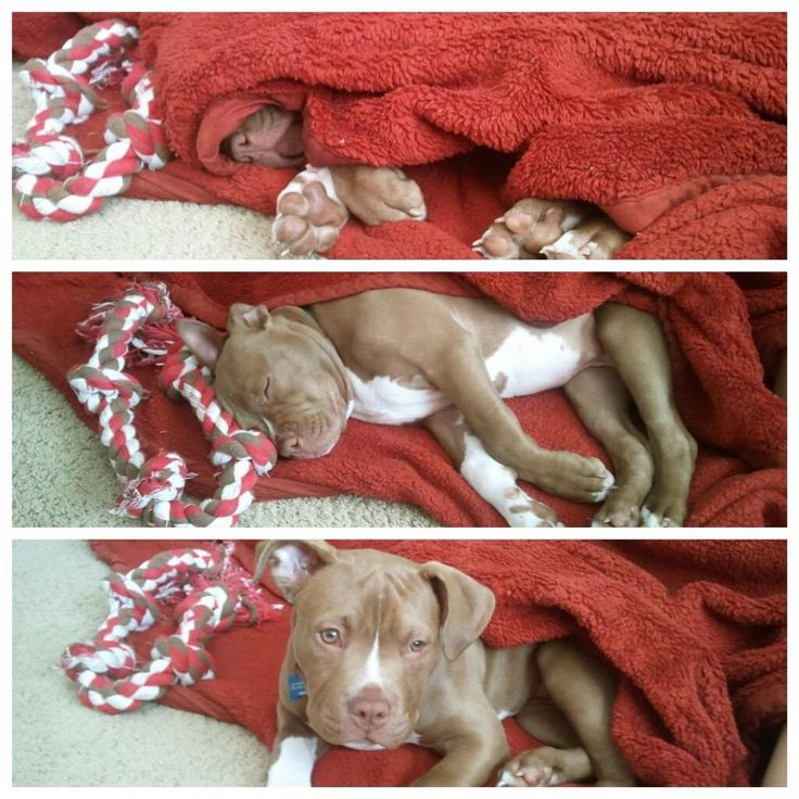Pit bull puppy catching some zzzzs :-)
