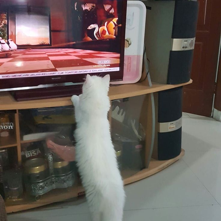Baru ngerti sekarang kucing bisa segitu seriusnya nonton film kartun. He he mungkin gemes sama penguin-penguinnya Madagascar he he