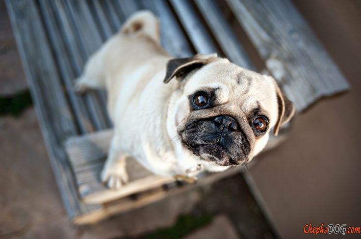 Photos de chiens de roquet intéressants