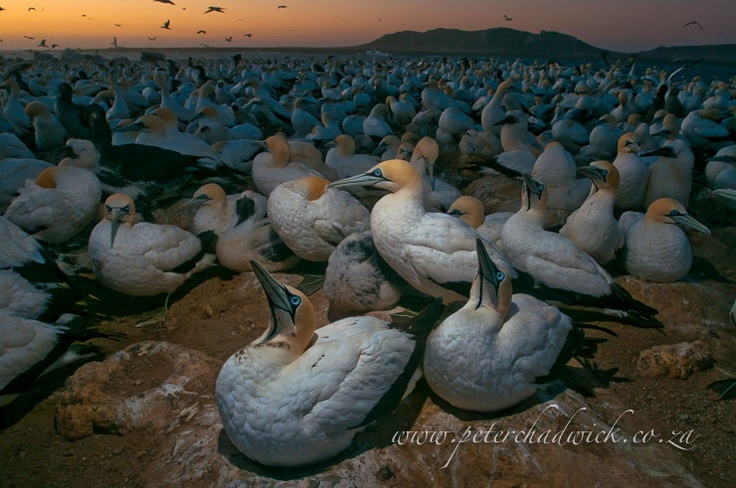 Cape Gannets at Dusk, West Coast National Park, South Africa.  Wildlife and bird photography by Peter Chadwick.