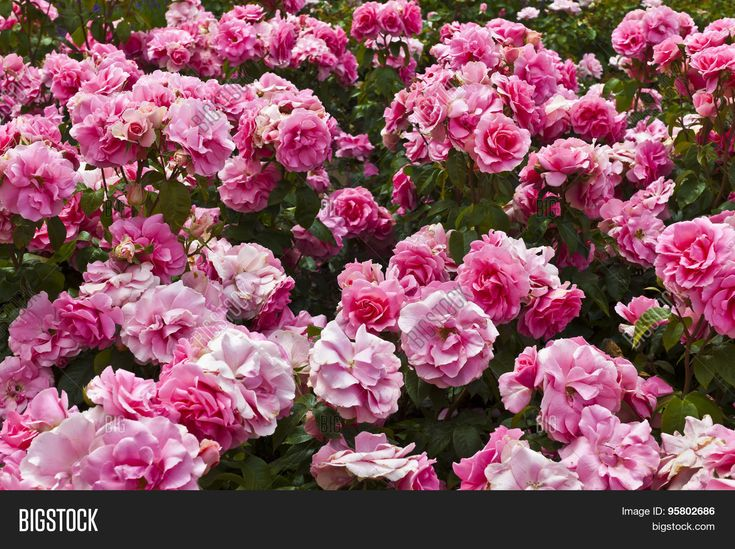 Pink roses in a garden.