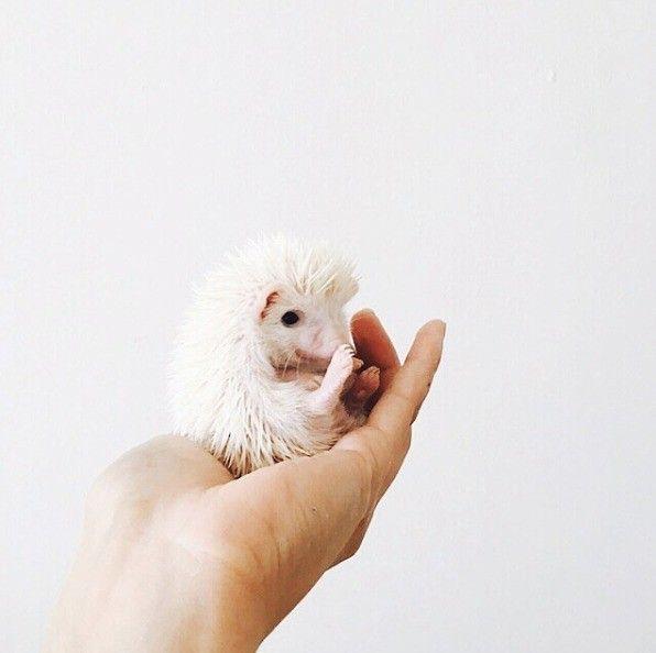 #cite #hedgehog #animal #nature #albino