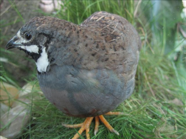 23 best Button Quail images on Pinterest | Button quail ...