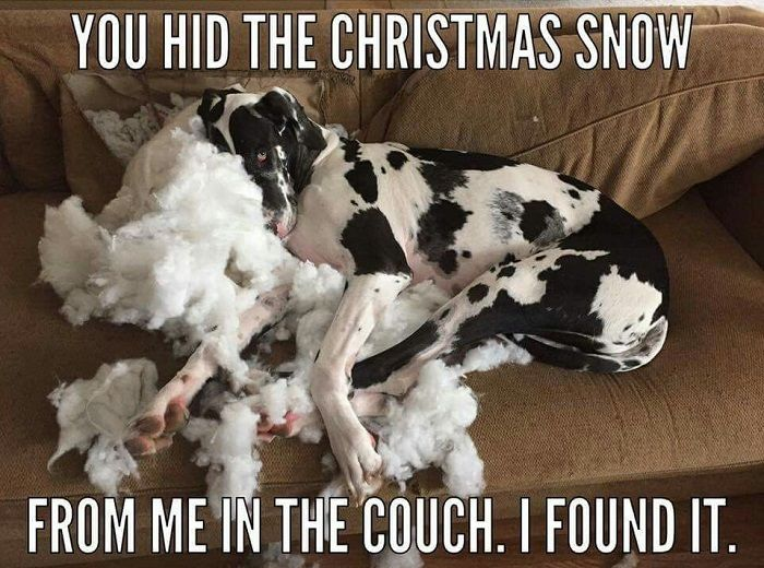 Pin By Vadym Orlov On Funny Dogs Great Dane Funny Great Dane