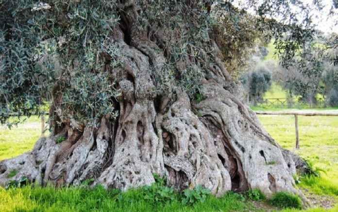 L'essere vivente più lognevo d'Europa L'essere vivente più longevo d'Europa è un pino bosniaco di 1.075 anni. L'albero è stato scoperto in Grecia, da un gruppo di ricercatori delle università di Stoccolma, Mainz e Arizona e fa parte di u #albero #adonis #longevo #antico