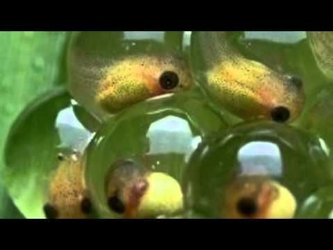 Life cycle of a Frog! - YouTube