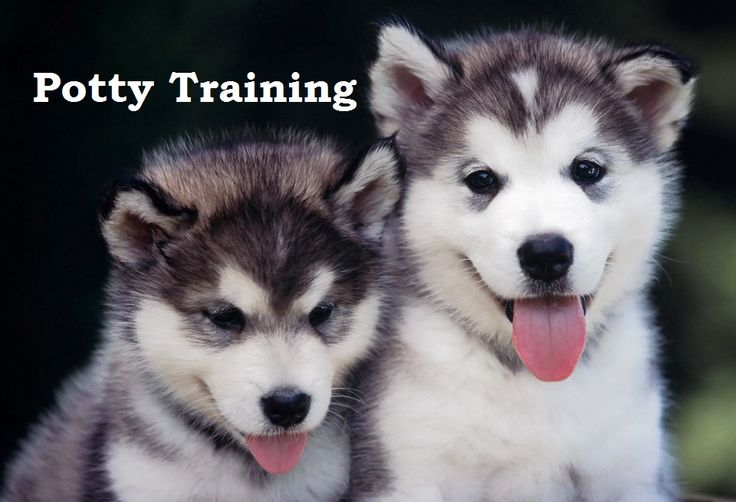 Siberian Husky Puppies. How To Potty Train A Siberian Husky Puppy. Siberian Husky House Training Tips. Housebreaking Siberian Husky Puppies Fast & Easy. Share this Pin with anyone needing to potty train a Siberian Husky Puppy. Click on this link to watch our FREE world-famous video at ModernPuppies.com
