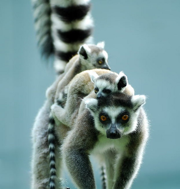 17 Best Images About Ringtail Az State Symbol On