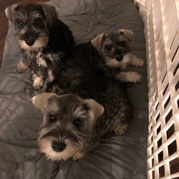 Schnauzer Miniature Puppy For Sale In Charlotte Nc Adn 65566 On