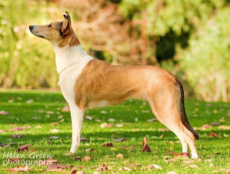 """Collie, Smooth - The """"Lassie dog"""" has been described as a clever worker that responded to the shepherd's commands, herding sheep and driving them to market. Collies come in two distinct coat types: rough and smooth. The rough coat is abundant except on the head and legs."""