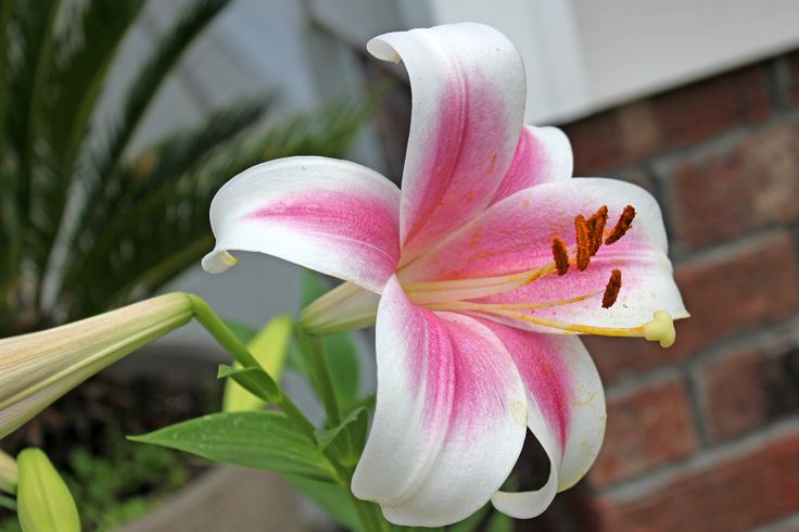 Unknown lily - first bloomed today!