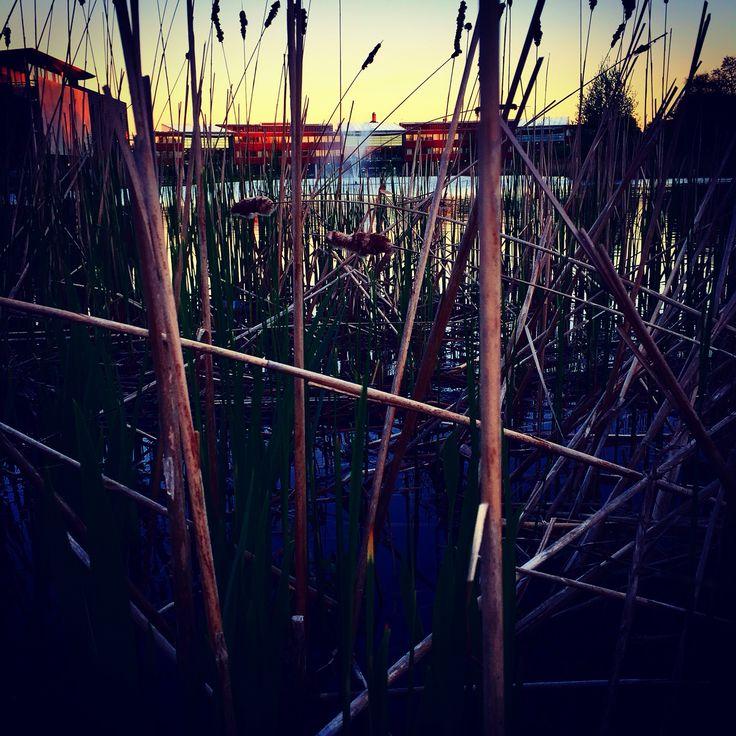 Jubilee Campus Lake reeds