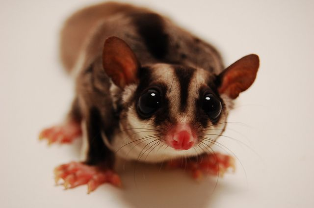 suger-glider-cute-aussie-animals