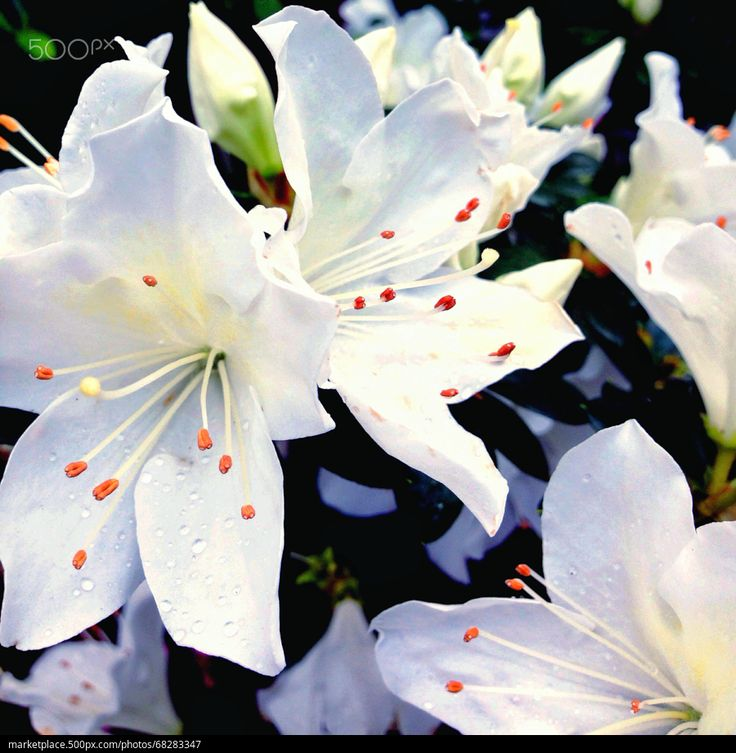 Pure azalea - stock photo