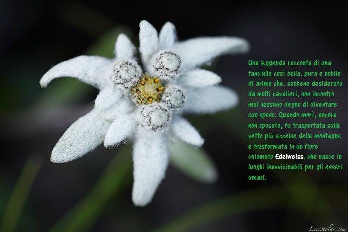 Proprio perché difficile da raccogliere, la stella alpina è simbolo dell'ottenimento del più alto e nobile onore che un uomo mortale possa conquistare. (foto di L. Tolar)