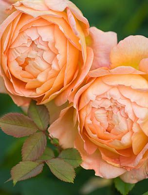 English Roses at the Chateau du Rivau