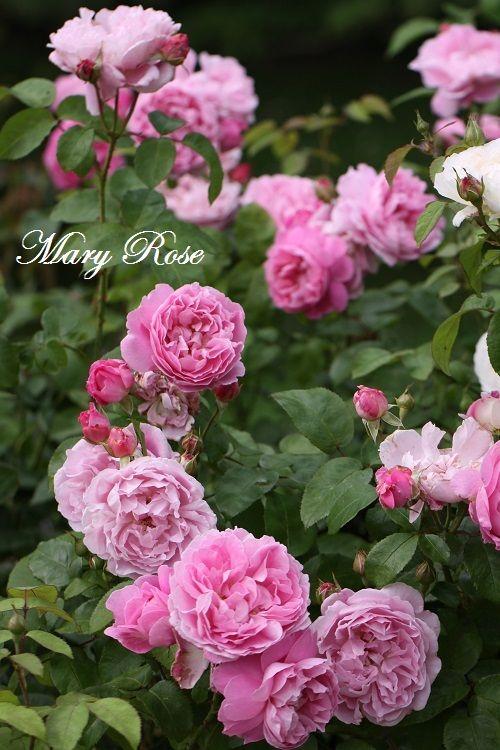 "David Austin rose ""Mary Rose"" in our garden in Moenchhagen near Rostock"