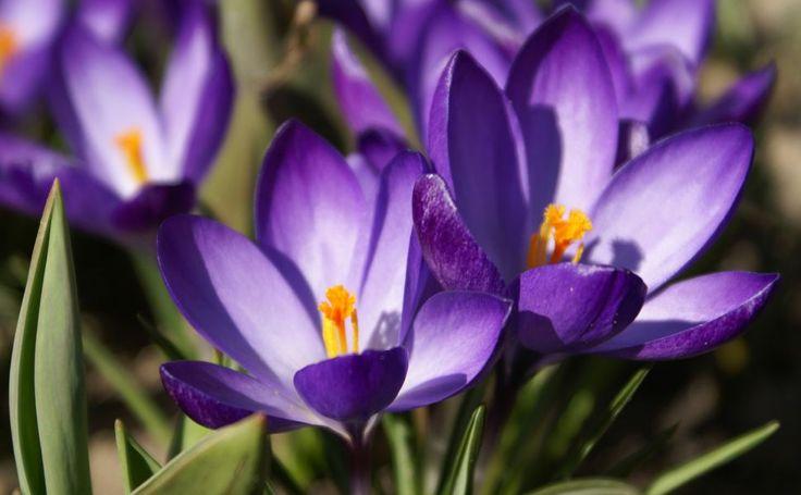 Violet Primrose Flower HD Wallpaper