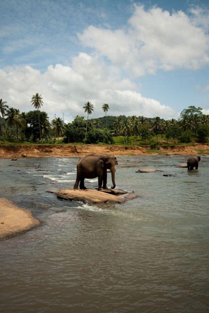 Pinnawela - słynny sierociniec dla słoni. Trafiają tutaj młode osierocone słonie. /  Rozkręcamy http://tripek.pl - jeżeli kochasz podróże to zarejestruj się na http://tripek.pl i dodaj swoje zdjęcia z podróży lub ciekawe lokalizacje, będzie nam bardzo miło :)