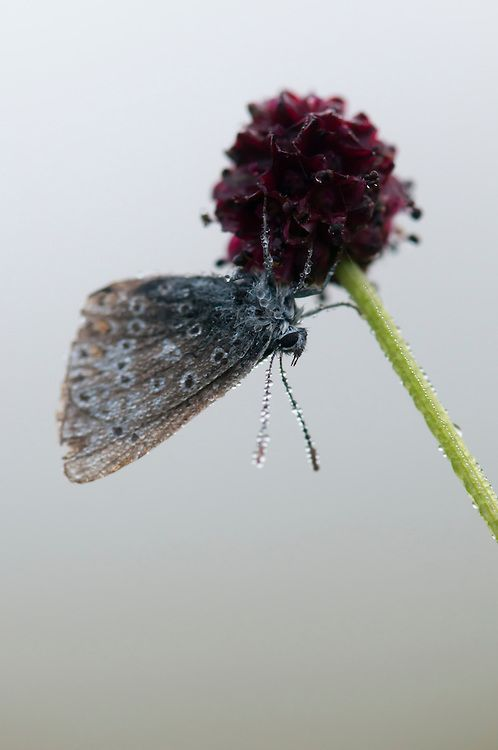 Male Common blue butterfly,  polyommatus icarus, on great burnet, Sanguisorba officinalis, covered in dew from earl morning mist in Hay Meadow - Clattinger farm, Wiltshire. UK. This habitat has been reduced in the UK through intensified farming by 98% since the second world war and is highly endangered.