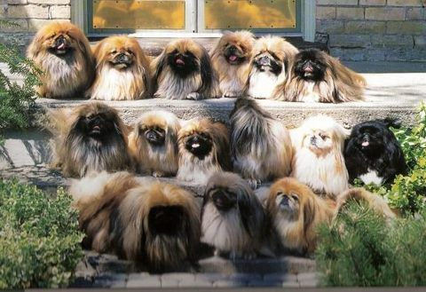 Pekingese Heaven!  I thought about pinning this in gift ideas (for me)...... ha!