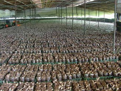 Afacerea cu ciuperci: secretul recoltelor champinion